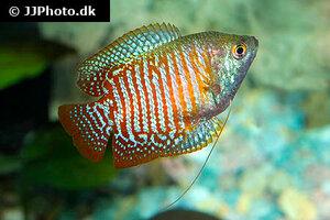 trichogaster-lalius-4.jpg