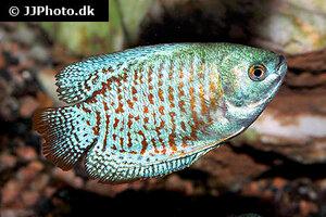 trichogaster-lalius-neon-1.jpg