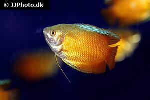 trichogaster-lalius-red-neon-2.jpg
