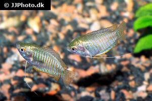 trichogaster-lalius-wild-1.jpg
