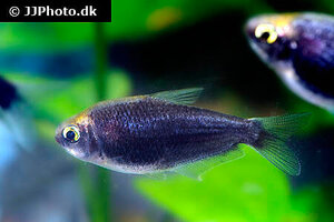 nematobrycon-palmeri-black-2.jpg