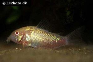corydoras-aeneus-albino-1.jpg