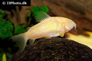 corydoras-aeneus-albino-2.jpg