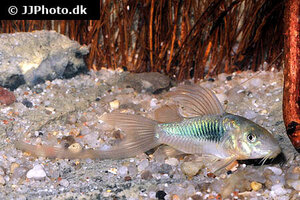 corydoras-aeneus-longfin-4.jpg