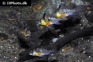 Mikrogeophagus altispinosus 9.jpg