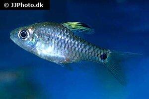 Oreichthys crenuchoides 2.jpg