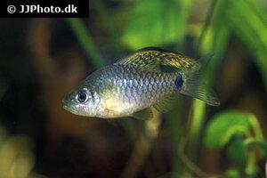 Oreichthys crenuchoides 3.jpg