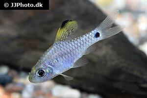 Oreichthys crenuchoides 7.jpg