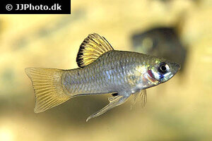 Phallichthys amates 2.jpg