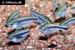 Pareutropius buffei 6.jpg