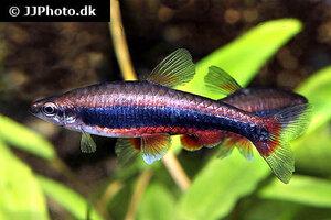 Nannostomus beckfordi 11.jpg