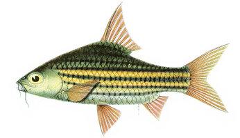 striped-barb.jpg