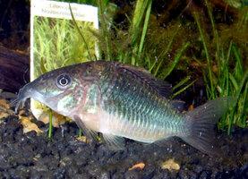 emerald-catfish.jpg