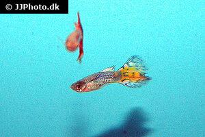 Poecilia reticulata 10.jpg