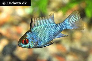 Mikrogeophagus ramirezi electric blue 2.jpg