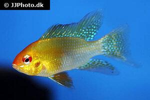Mikrogeophagus ramirezi gold 3.jpg