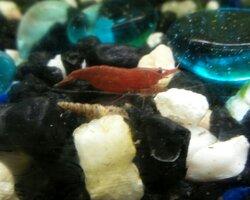 shrimpnsnail.jpg