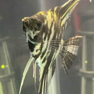 Batmantheanglefish