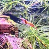 Belshrimp