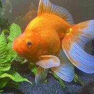 pomfish