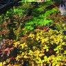 Algae Management and Algae Myths in the Planted Aquarium