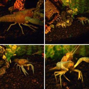 10g - Coolwater Crayfish tank