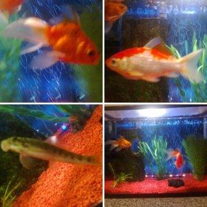 24 ltr goldfish