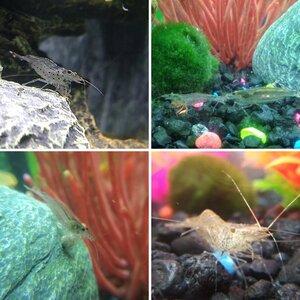 Shrimpies!