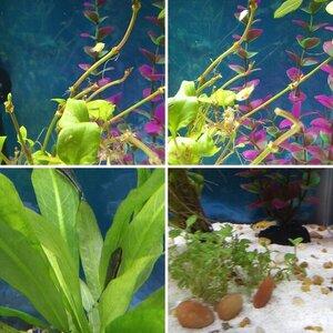 My Aquarium Journey: Molly, BN Pleco, Otto, Corys & fry