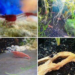 Shrimp tank album