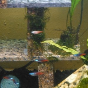 blonie tetra with a few of the normal diamond heads