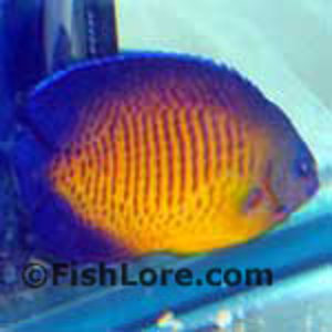Coral Beauty Angelfish in QT