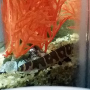 My other banded Kuhli Loaches