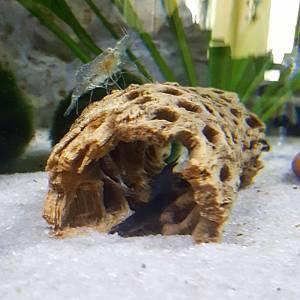 Black Kuhli Loach & Ghost Shrimp hanging out.