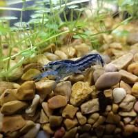 Blue Dwarf Crayfish Momma