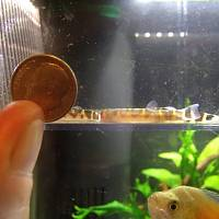 Baby loaches vs. dime