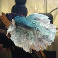 Zhavonni the Betta