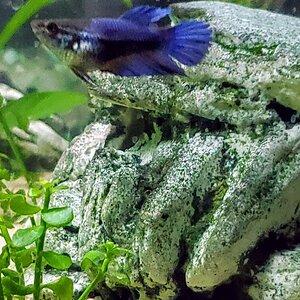 Female Betta (Dark Blue).jpg