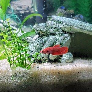 Female Betta (Red).jpg