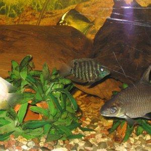 Parrot, Green Sevrum, Bala