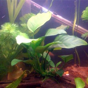 My Anubias plant attached to driftwood