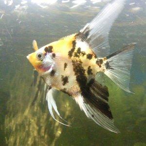 'Salty'  Goldenhead Marble Angel Fish