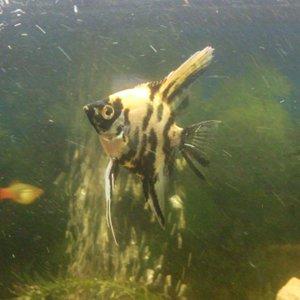 'Sushi' Goldenhead Marble Angel Fish