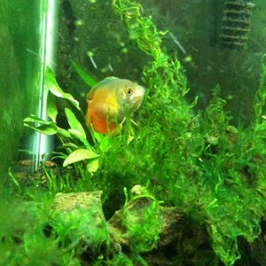 DG eating algae in the flame moss