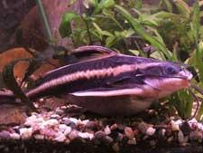 Raphael Catfish