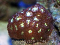 Blastomussa Coral
