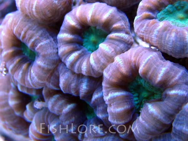Candy Cane Coral