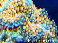 Ricordea corallimorph
