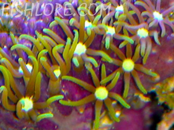 Briareium sp. - Green Star Polyps