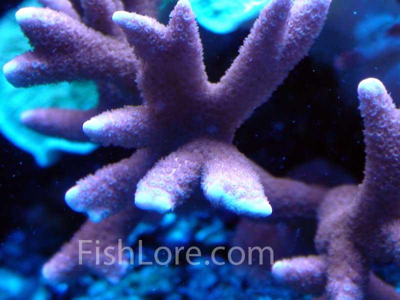 Montipora Digitata Coral